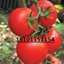 大粉果番茄种子|荷兰大果番茄种子图片