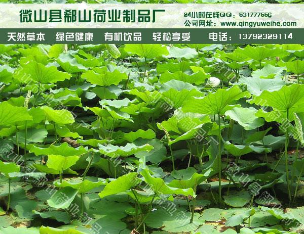 植物原药材荷叶 纯净 无添加中药材销售
