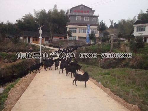 供应养黑山羊怎样建羊圈羊舍设计规范化管理的黑山羊