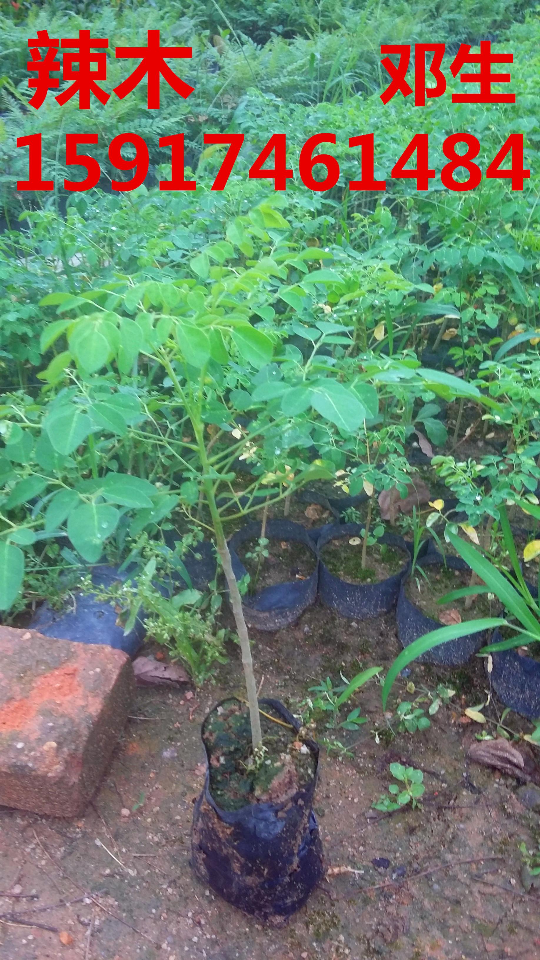 供应用于绿化造林的南方50公分高辣木小苗批发商价,广东60公分高辣木种苗报价,广州70公分高辣木树苗价格,辣木袋苗