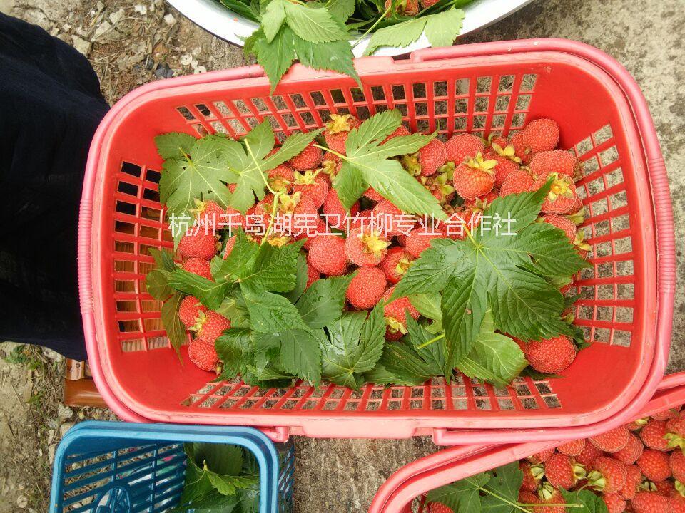 浙江掌叶覆盆子(树莓)图片|浙江掌叶覆盆子(树莓)