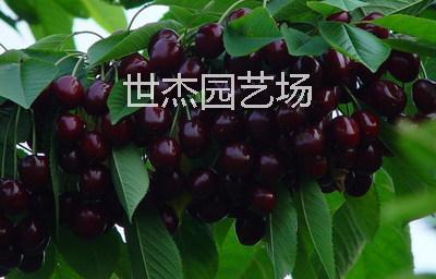大樱桃树苗价格 5公分红灯樱桃树 3公分吉塞拉樱桃限量出售