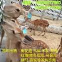 梅花鹿饲养管理技术鹿路行特种养殖图片