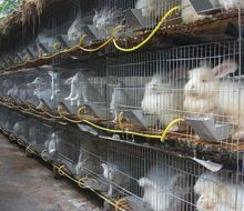 供应用于作种的长毛兔对兔舍有什么要求长毛兔价格