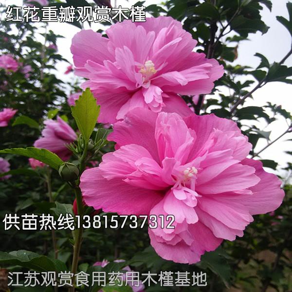 急需开发的重瓣红花木槿苗销售