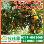 晋城早熟桔子图片