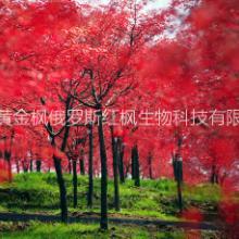 供应用于俄罗斯三季红的俄罗斯三季红枫百度百科俄国红枫图批发