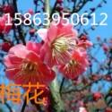 供应红梅树苗.红叶樱花.緑梅.图片