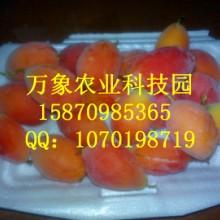 供应奇特新型水果种苗红参果