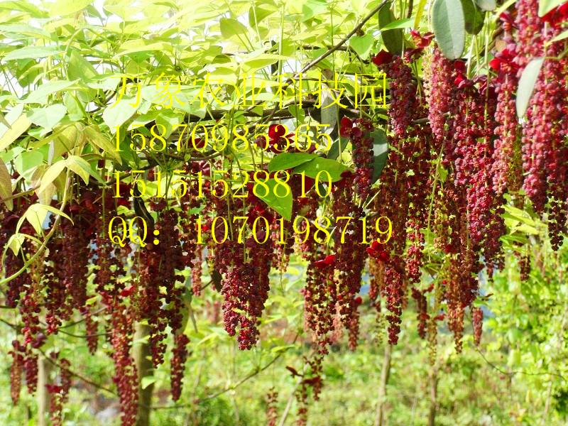 供应江西八月瓜最大种植基地