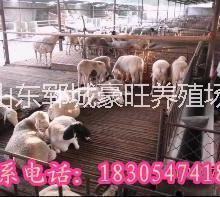 供应用于贸易的新疆肉羊