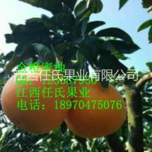 金橙蜜柚苗 金桔蜜柚苗 黄金蜜柚苗