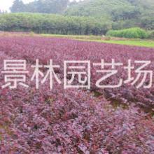 供应用于工程道路绿化的红花继木/红花继木价格/红继木价格/地被苗红花继木/球型红花继木批发
