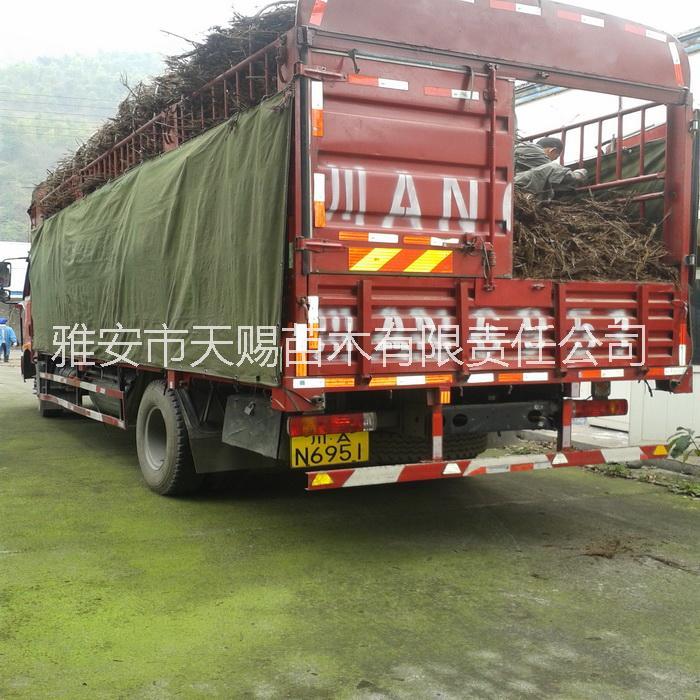 供应曼地亚红豆杉干枝条、废枝条、树根