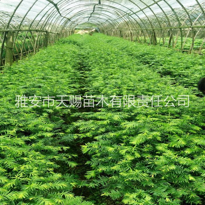 供应用于净化空气|南方红豆杉|室内绿植的红豆杉小苗盆景盆栽苗杯苗基地直销