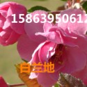 供应白兰地海棠.皇家雨点.紫色完美图片