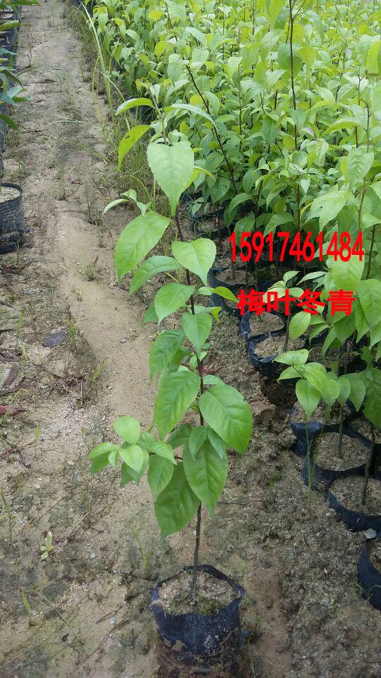 供应用于绿化造林的南方30公分高梅叶冬青树苗报价,广东40公分高梅叶冬青袋苗供货商,广州梅叶冬青种苗便宜价格