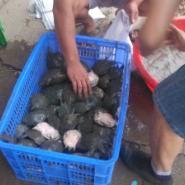 四川甲鱼养殖场批发半斤甲鱼苗图片