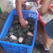 供应用于养殖的湖南岳阳甲鱼种苗养殖厂外塘甲鱼种苗大量批发批发