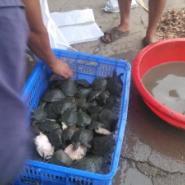 四川甲鱼养殖场批发1斤以下甲鱼苗图片