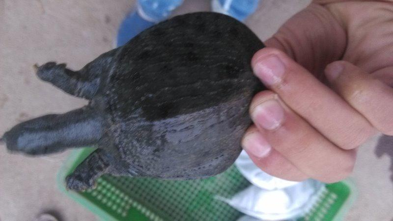 供应用于养殖的湖北中华鳖苗市场价格/有机甲鱼苗