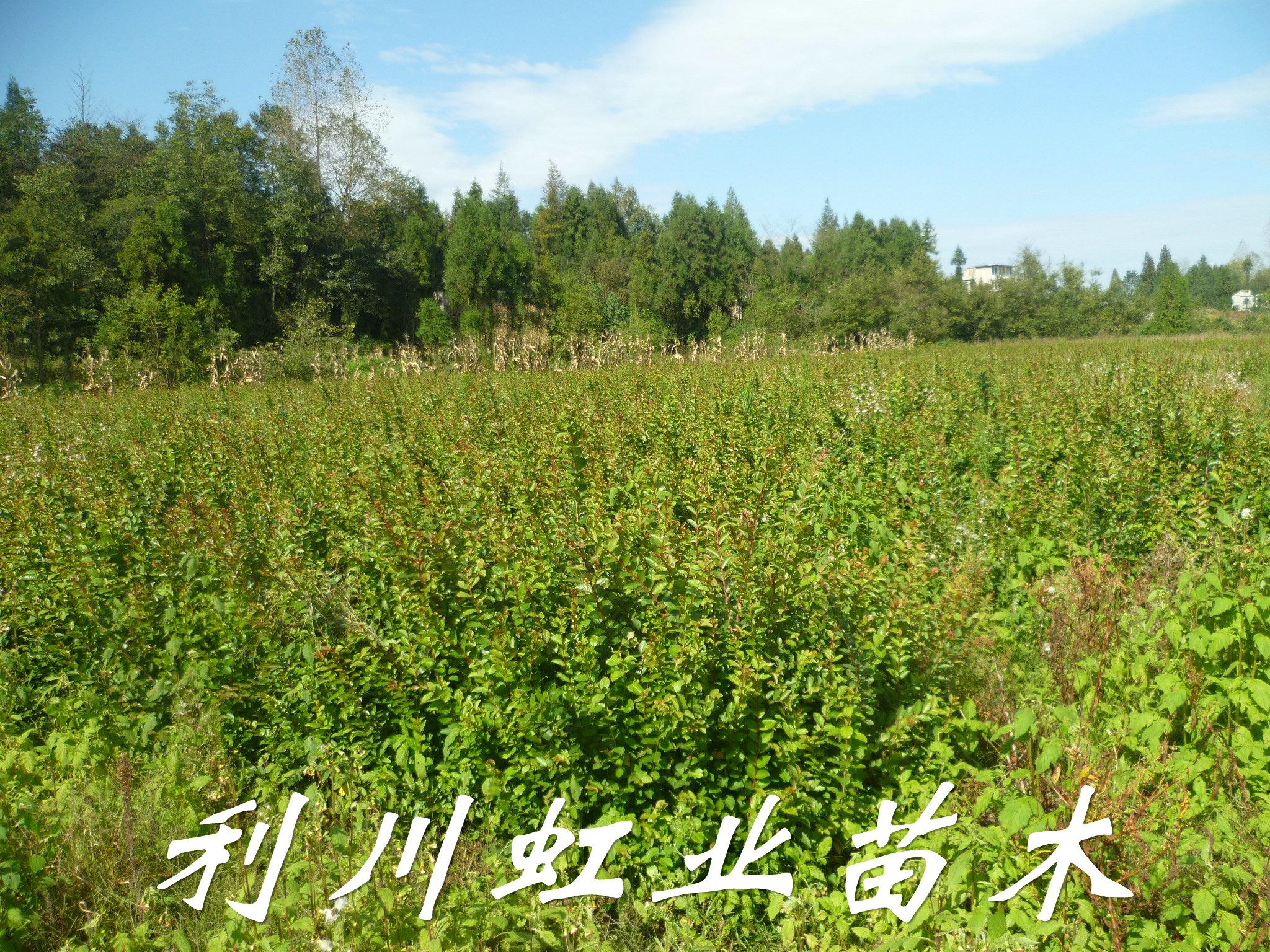 供应紫薇树小苗/1米以上紫薇树苗