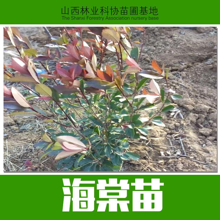 山西海棠苗销售