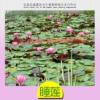 渭南睡莲的种苗怎样选图片