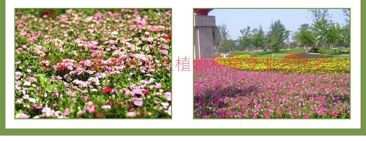 供应喀什草花种植15933731160