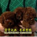 广州哪里有卖纯种健康贵宾犬广州哪里有卖宠物狗贵宾犬
