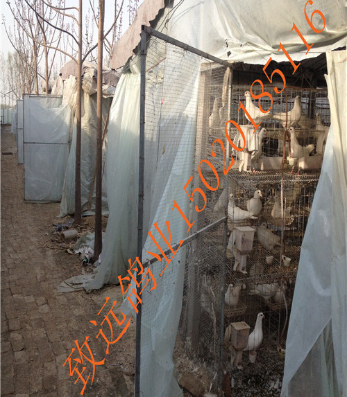 供应用于烤乳鸽的河南肉鸽,价格优惠,天然养殖