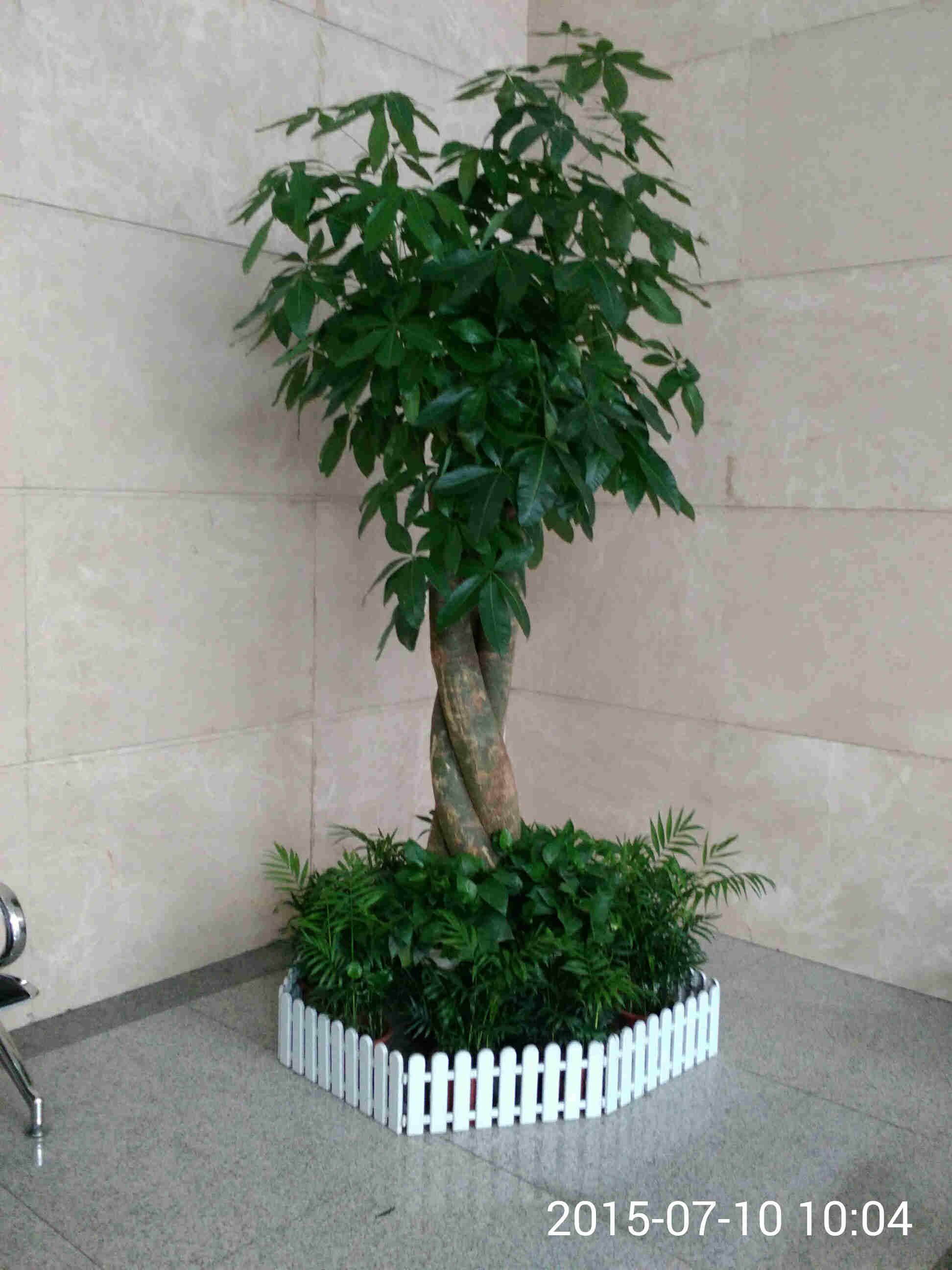 发财树盆景价格