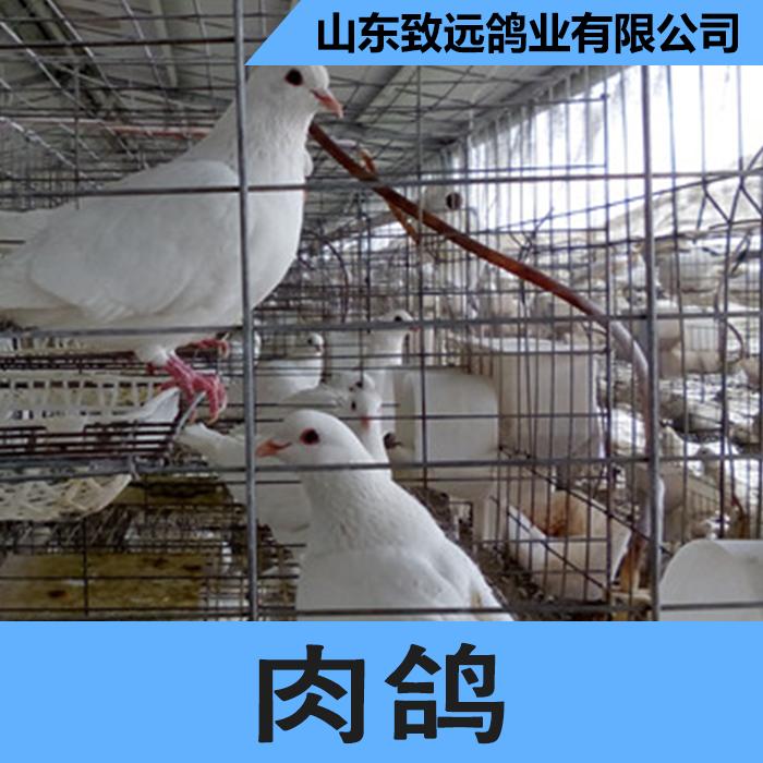 供应用于烤乳鸽的山东肉鸽养殖基地