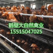 供应厂家供应_优质60天青年鸡批发