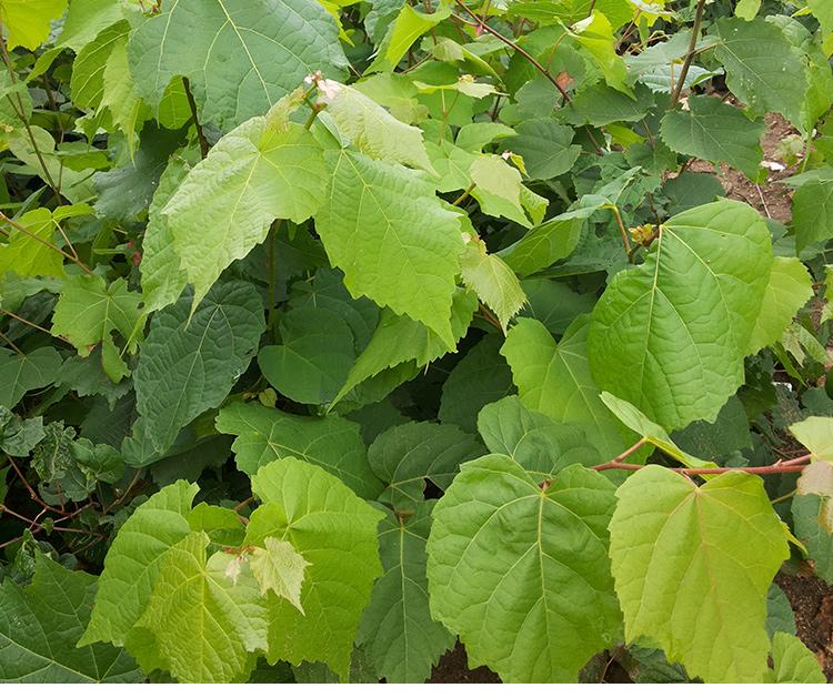 国家Ⅱ级重点保护野生植物