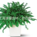 供应张江家庭绿色植物租赁花卉租赁,张江家庭绿色植物租赁电话,张江家庭绿色植物租赁报价