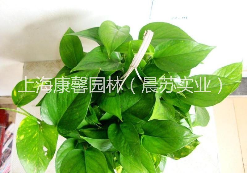 江北区办公室植物租赁电话 江北区办公室绿植租赁电话