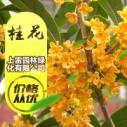 广西桂花图片