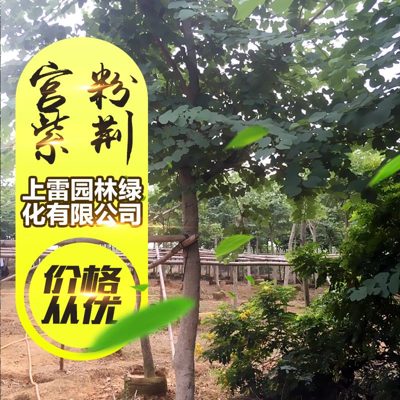宫粉紫荆图片/宫粉紫荆样板图 (3)