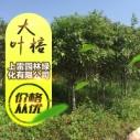 广西大叶榕图片