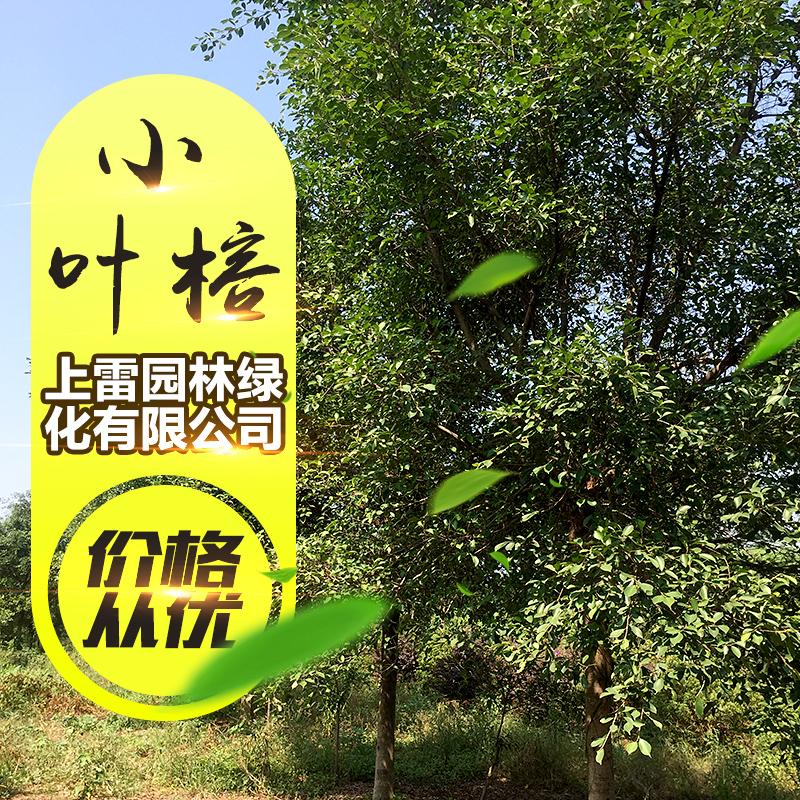 供应广西小叶榕树 胸径5~30CM小叶榕 绿化苗木 小叶榕树苗批发