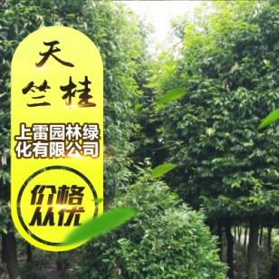 广西大叶天竺桂图片