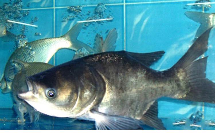 缩骨大头鱼_仙骨鱼缩骨鱼有什么区别缩骨大头鱼那大头鱼