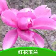 2年生红花玉兰苗图片