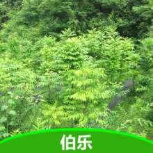 供應伯樂樹苗 國家一級保護植物伯樂樹 湖北五峰瀚林林業伯樂樹種植圖片