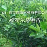 石门纽荷尔脐橙苗图片