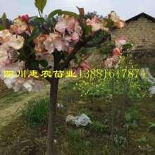 供应用于品尝的山茶茶苗,山茶茶苗种植园,山茶茶苗供应商