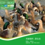 供应江南一号蛋鸭  江南一号蛋鸭养殖场家直销 鸭苗养殖孵化场批发