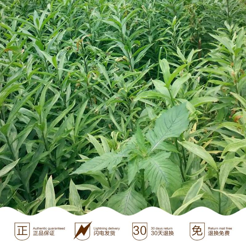 云南龙牙百合种苗,新鲜龙牙百合,龙山百合