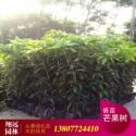 供应芒果树8至10公分袋苗,芒果树袋苗A货批发商